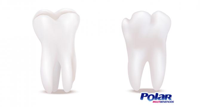 ¿Sabes cómo se distribuye la dentadura? | Polar Ecuador