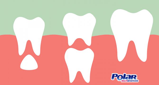 Las etapas de los dientes | Polar Ecuador